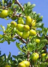 argania spinosa olio di argan
